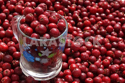 Country fairs. Hawthorn berries.