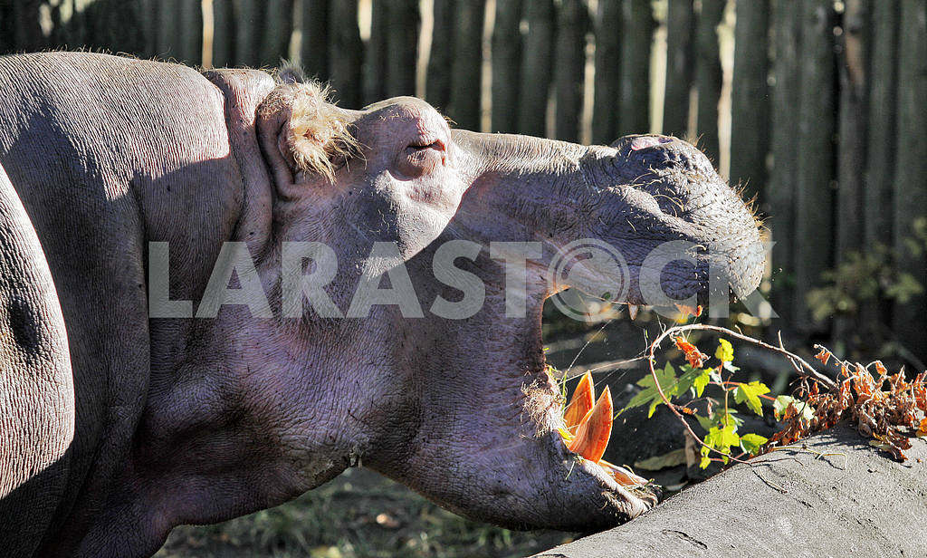 An hippo in a zoo. — Image 20088