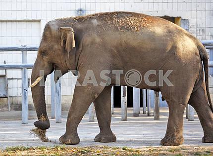 An elephant in a zoo.