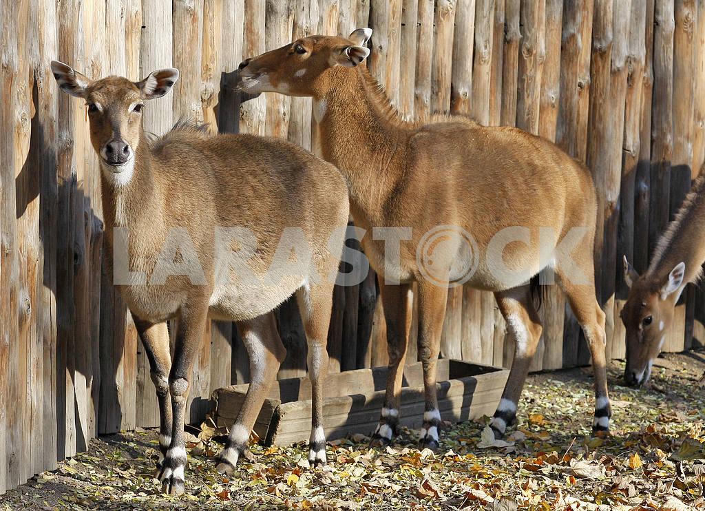 Нильгау в зоопарке. — Изображение 20091