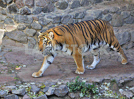 Tiger in a zoo.