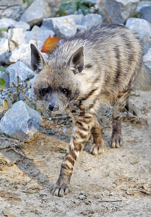 A hyena in a zoo.