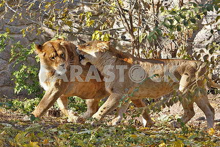 Lionesses in a zoo.