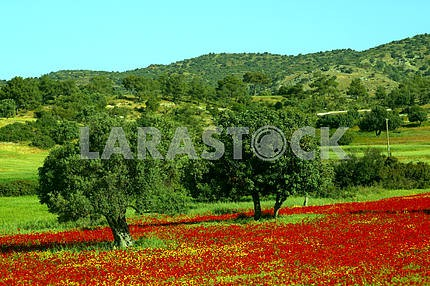 Trees among poppies