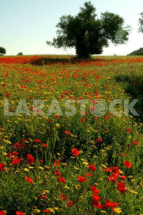 Poppies and chamomile.