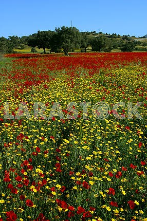 Poppies and chamomile