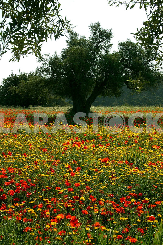 Tree among the poppies and chamomile — Image 20229
