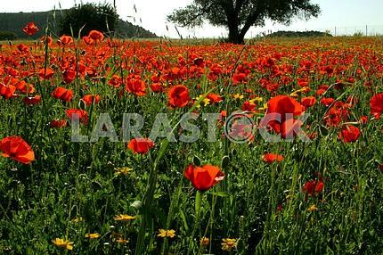 Маковая поляна на Кипре