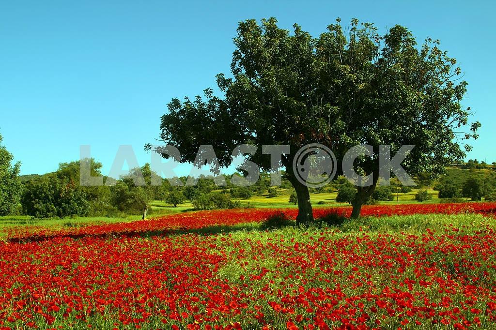 Деревья среди макового поля — Изображение 20238