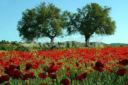 Two trees among poppies