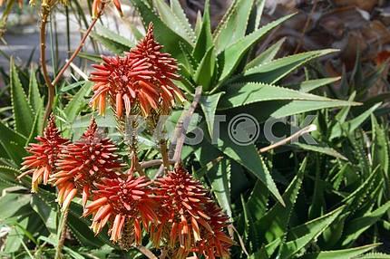 Растение Ало́э