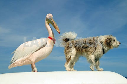 Pelican and dog