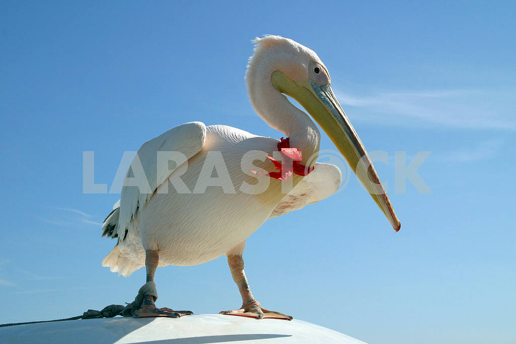 Pelican on a car roof — Image 20258