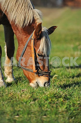 Portrait of Horse; Autumn portrait of Horse; Young Horse, Horse,