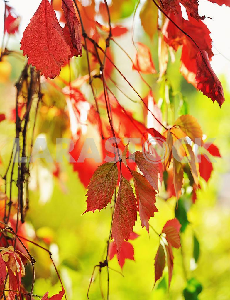 Красная листва — Изображение 20888
