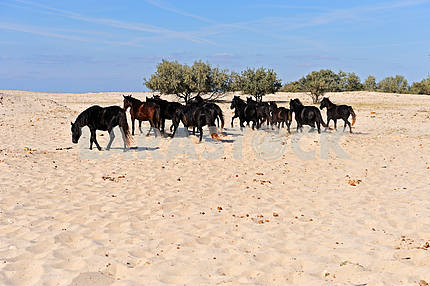 Horses in the southern steppes