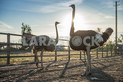 Ostriches against the sky