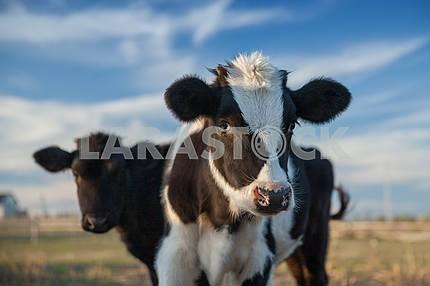 Two calf