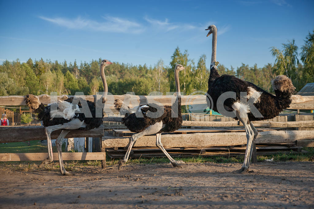 Three ostrich — Image 20941