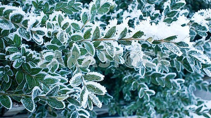 Snow on green leaves.