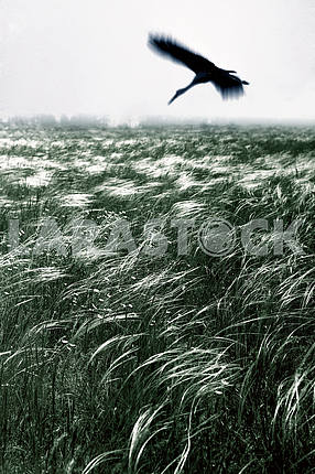 Zaporozhye feather grass