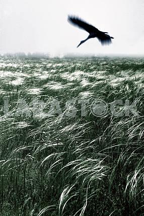 Zaporozhye feather grass