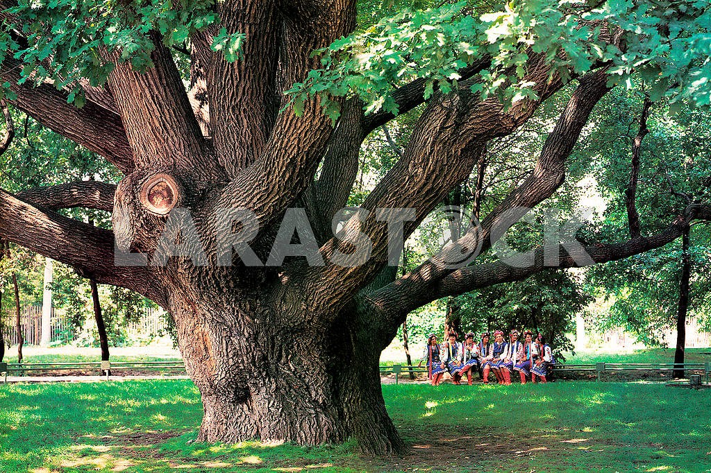In the city of Zaporozhye is an oak, which is more than 800 years — Image 21109