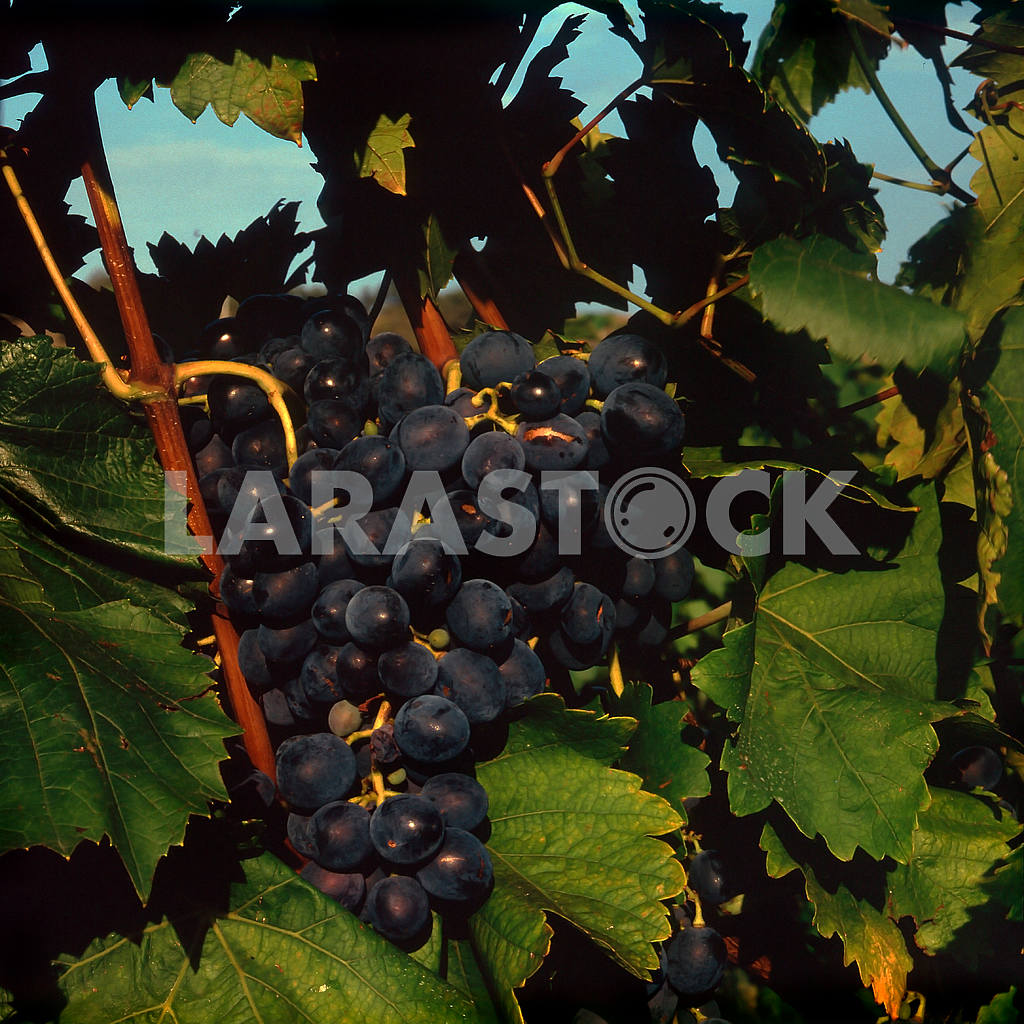 Grapes from the plantations. Koktebel — Image 21520