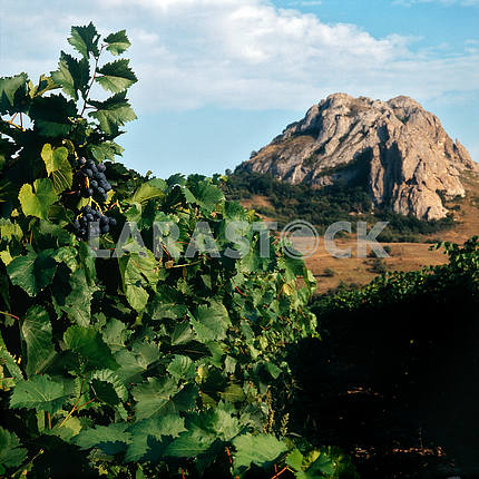 Grape plantation. Koktebel