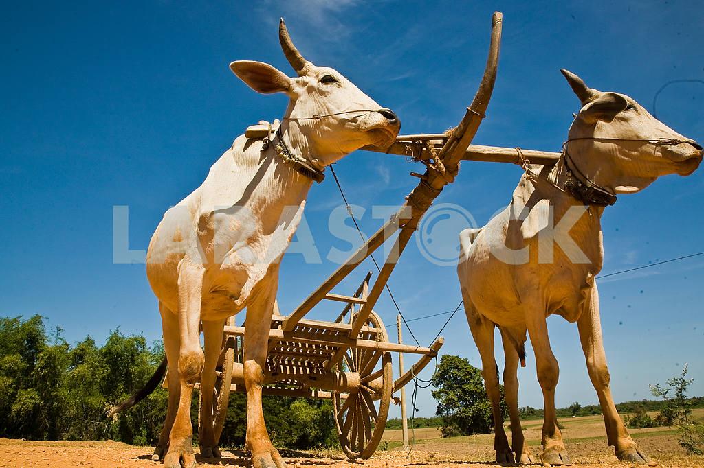 Labor bulls Cambodia — Image 2161