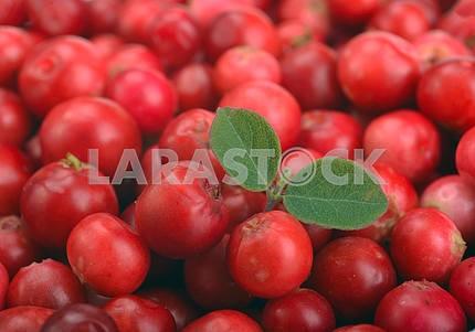 Спелые красные клюквы