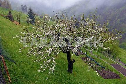 Цветущие яблони на склоне холма