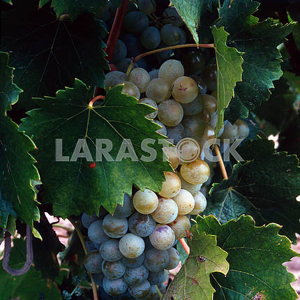 Blue Grapes ripen