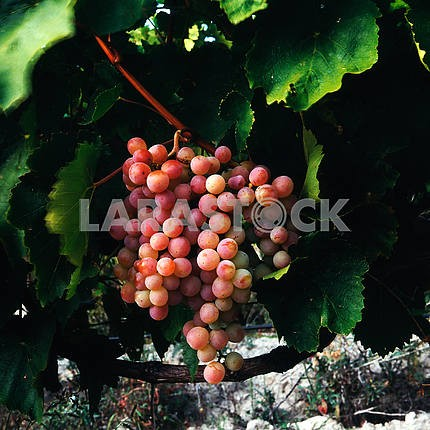 Grapes are pink with plantations of wine and brandy factory
