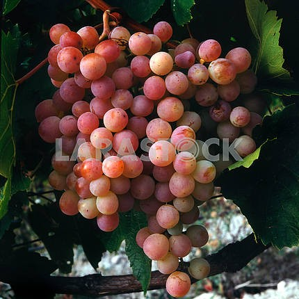 Grapes pink