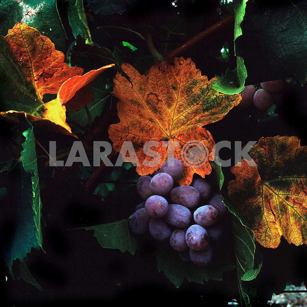 Blue Grapes — Image 21996