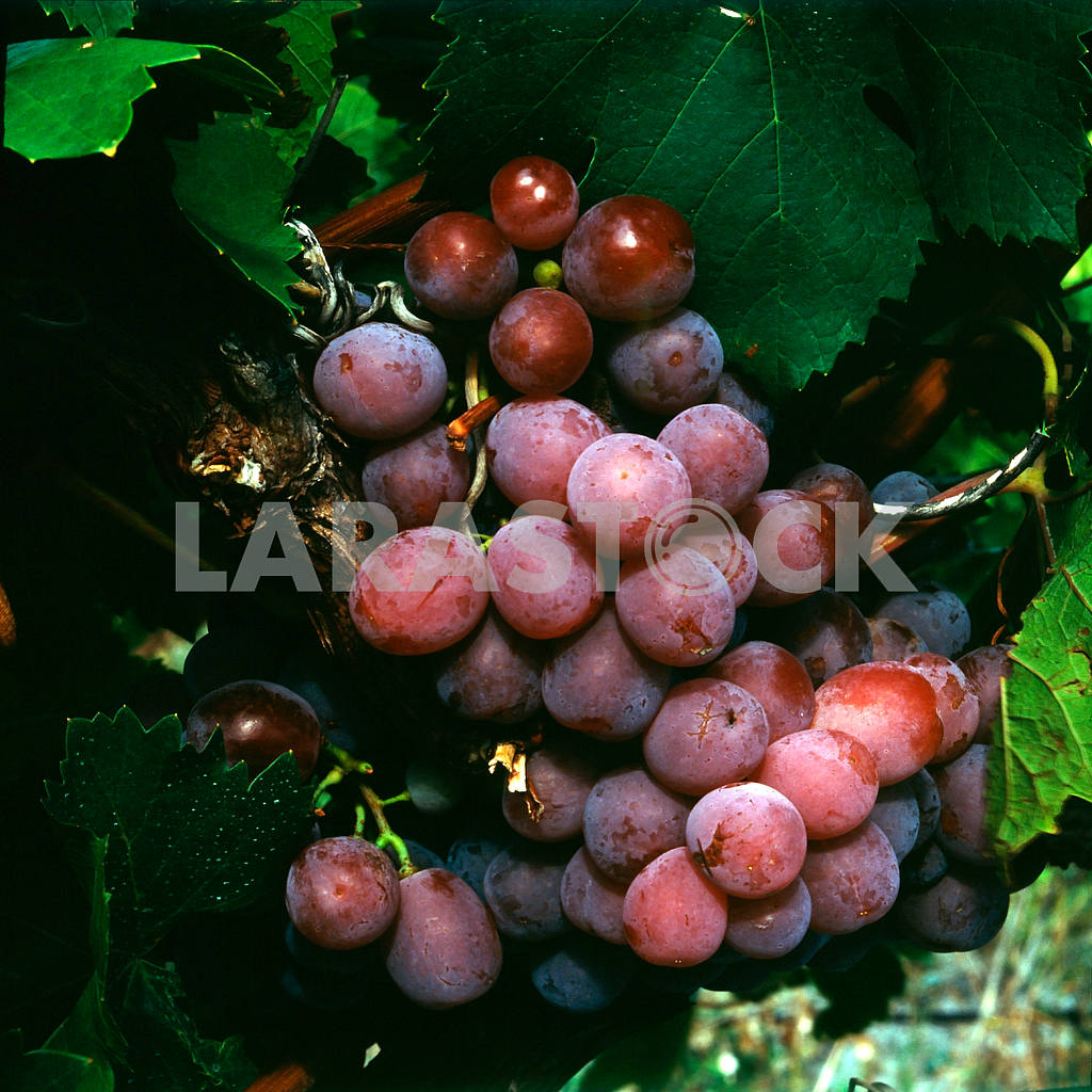 Grapes are pink. Plantations of wine and brandy factory. Koktebel — Image 21997