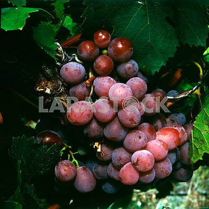 Grapes are pink. Plantations of wine and brandy factory. Koktebel