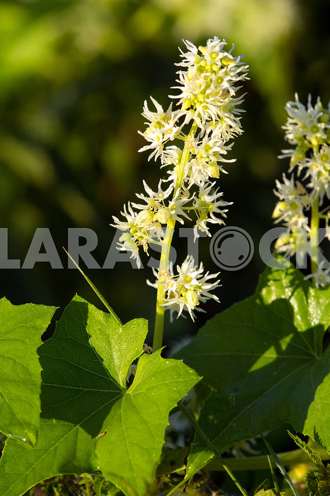 Brush white inflorescences. Chernihiv region. Mezin village — Image 22072