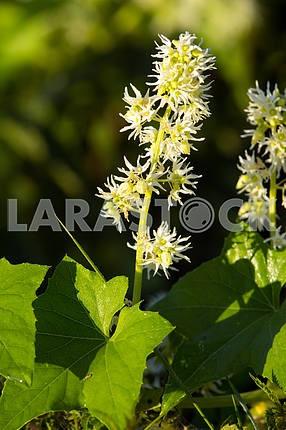 Brush white inflorescences. Chernihiv region. Mezin village