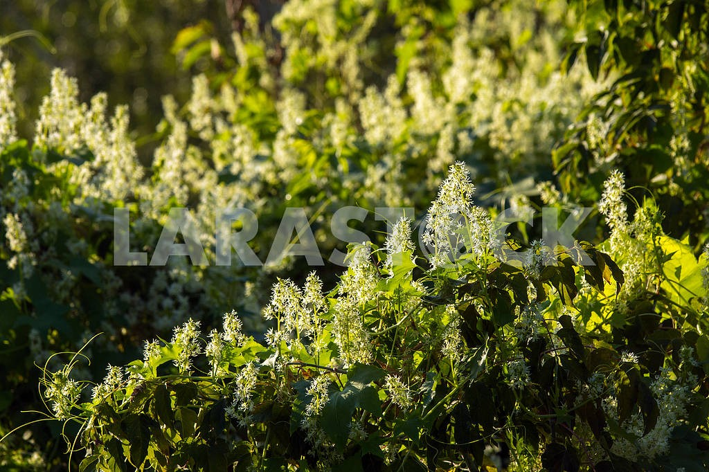Branches with white buds. Chernihiv region. The village of Mezin — Image 22073