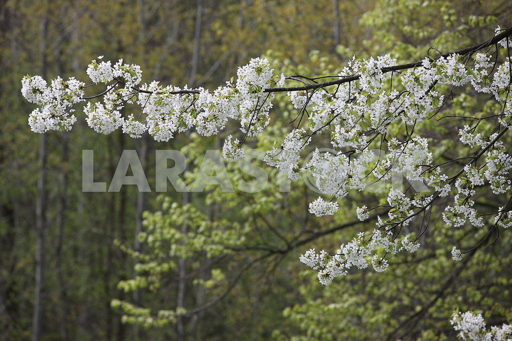 Flowering branch of cherry — Image 22134