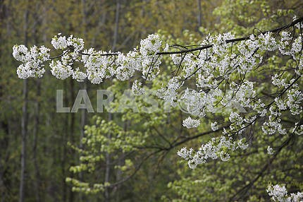 Flowering branch of cherry
