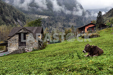 Mountain hut and cows at a Alpine pasture