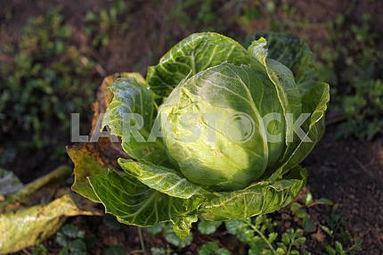 Ripe cabbage