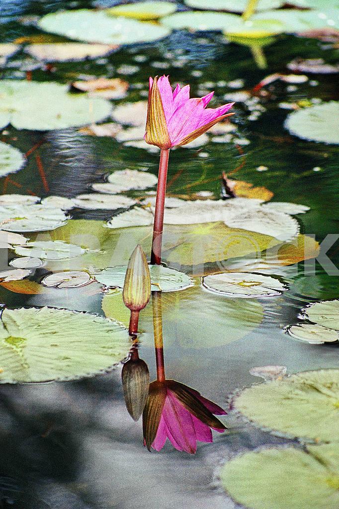 Lotus India — Image 24