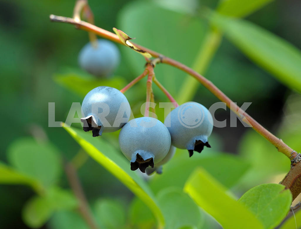 Blueberry on branches of a bush — Image 2444