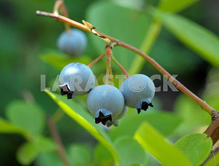 Blueberry on branches of a bush