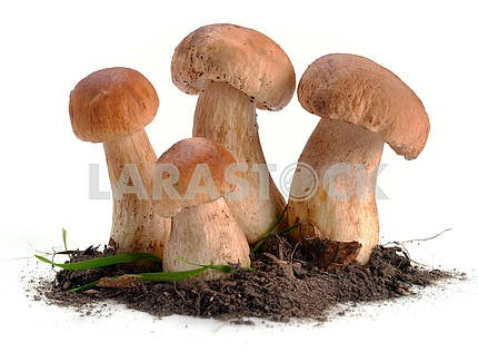 Ceps mushrooms in the ground