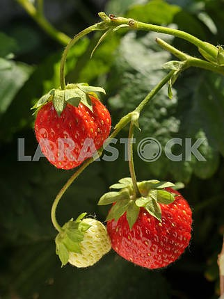 Strawberry growing on a tree